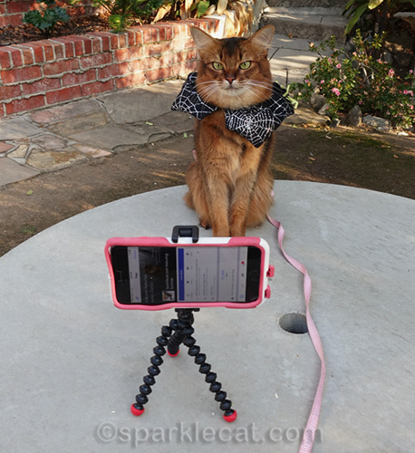 somali cat in front of iphone for video shoot