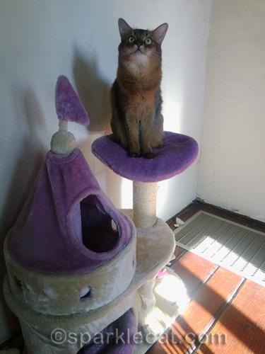 somali cat sitting on castle cat tree