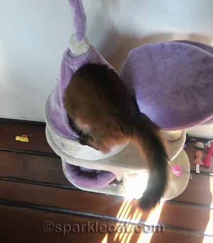 somali cat climbing into castle cat tree turret