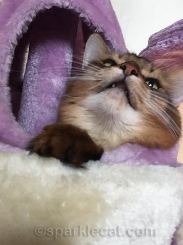 nostril selfie shot of somali cat