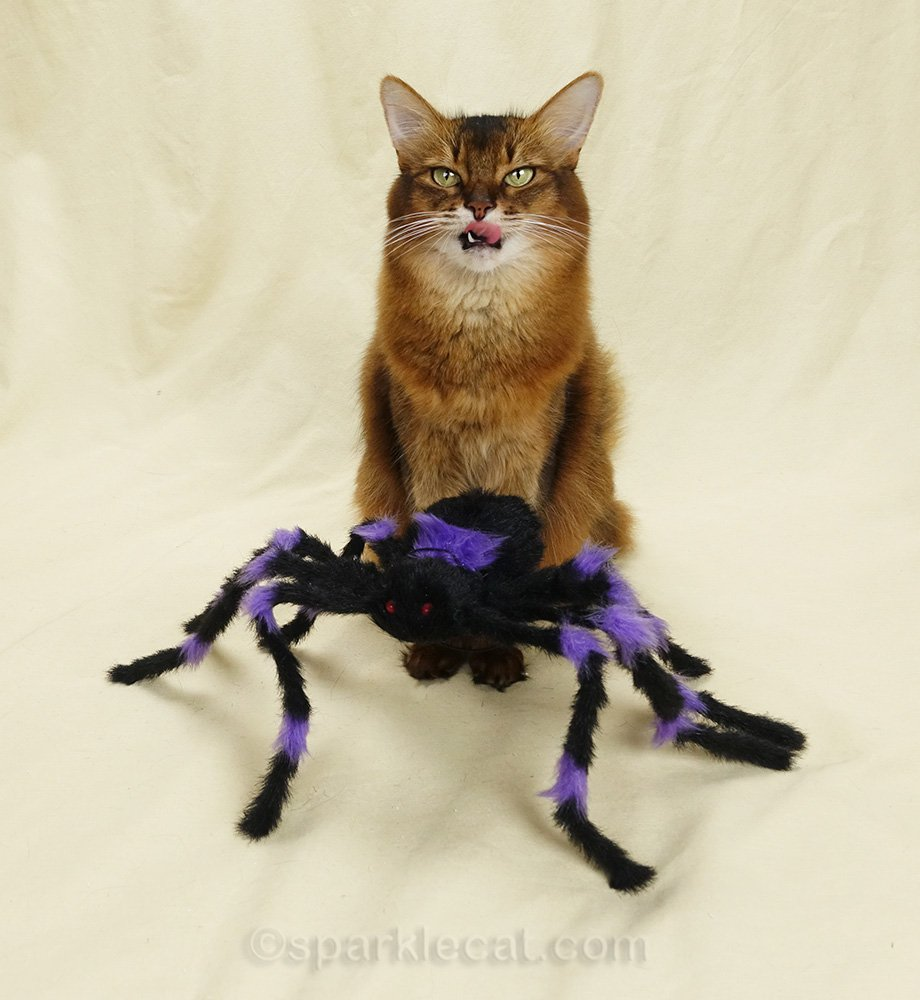 somali cat with tongue out and fake spider