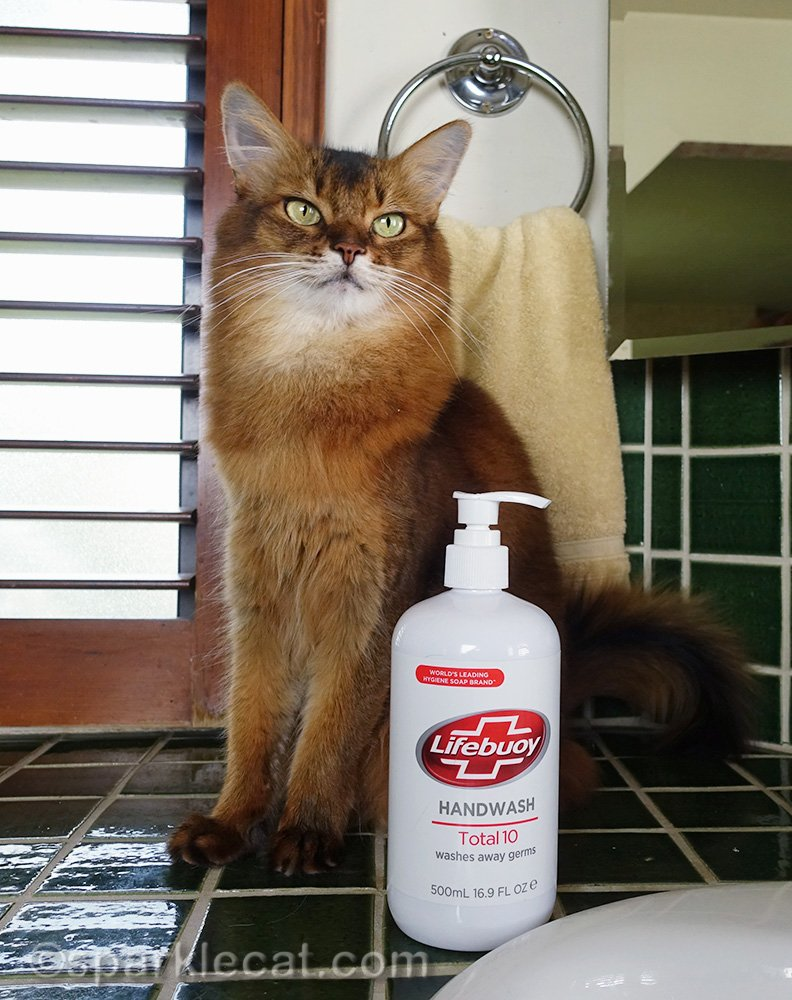 somali cat posing with hand soap
