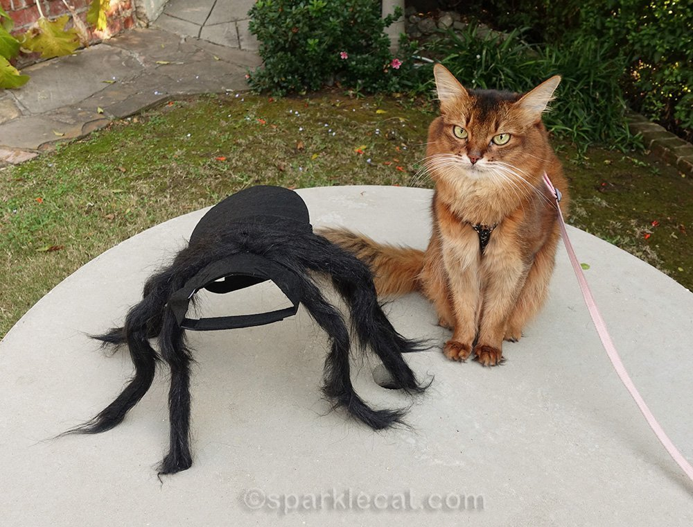 Somali cat with spider cat costume