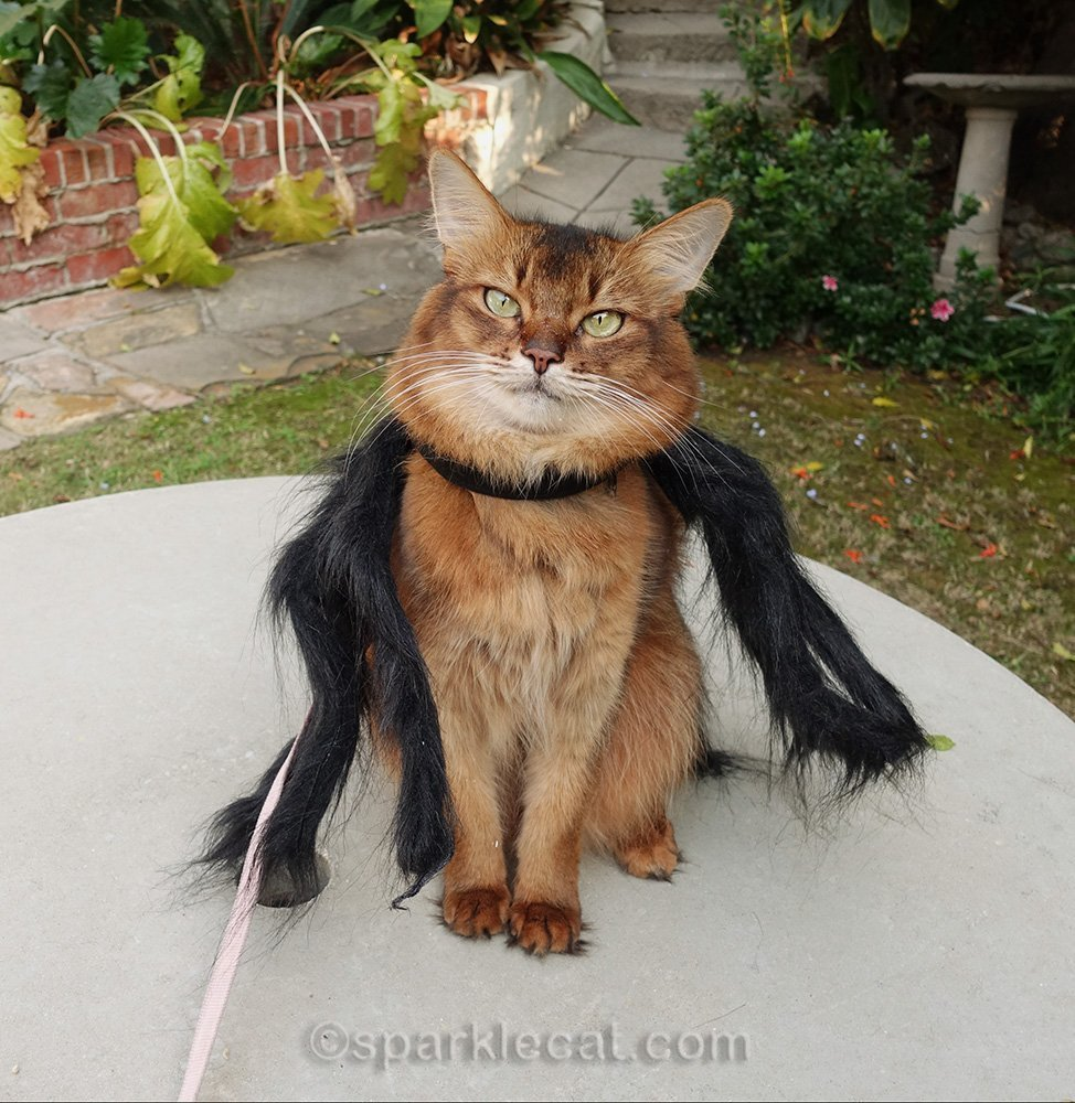 somali cat wearing spider costume