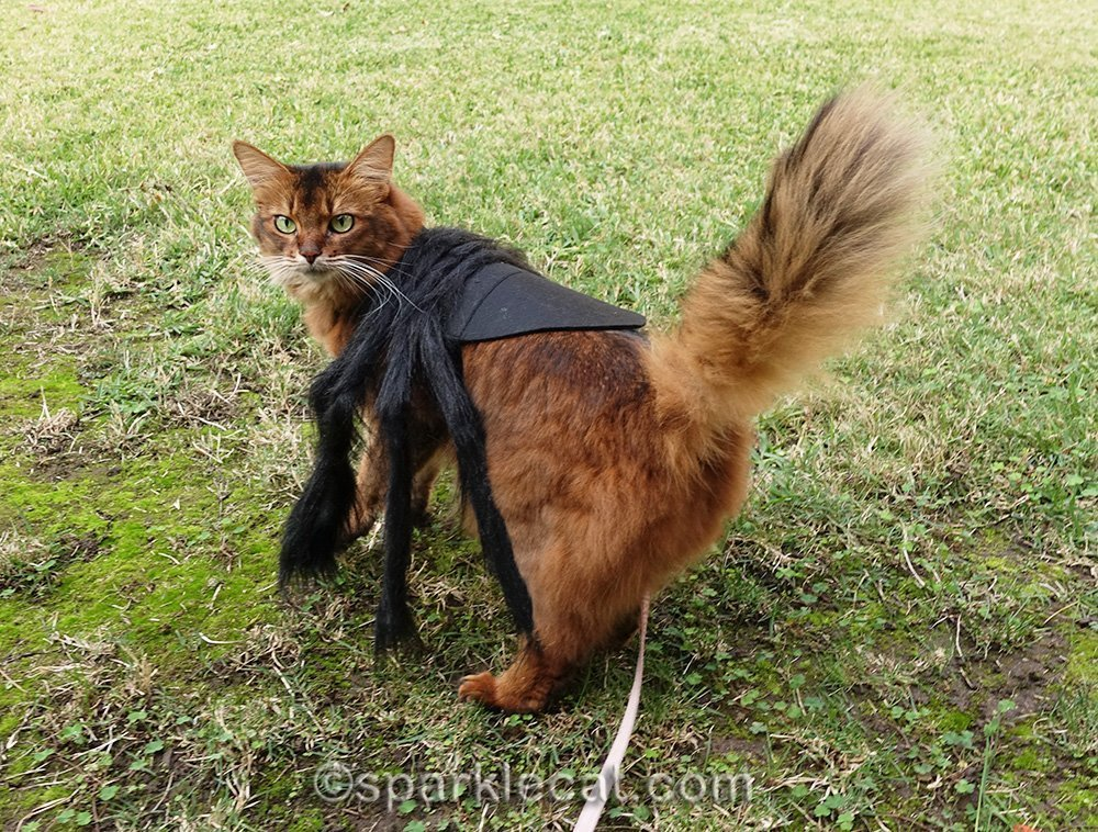 somali cat in spider outfit from behind