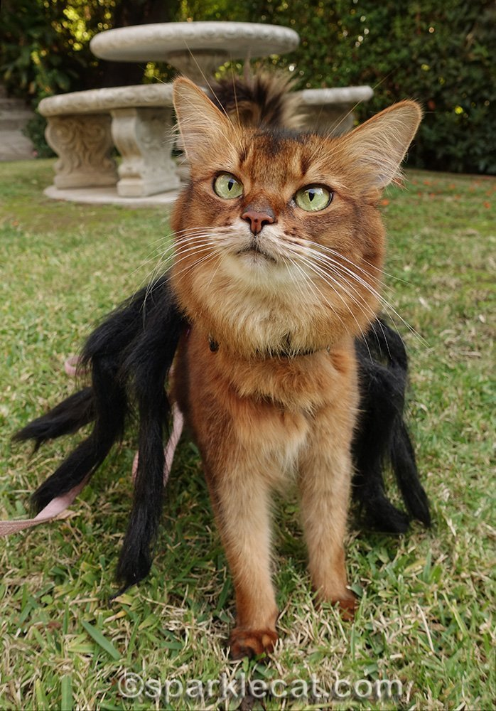 somali cat in spider costume looking cute