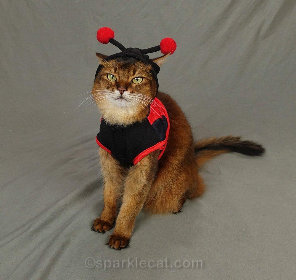 somali cat in ladybug costume.