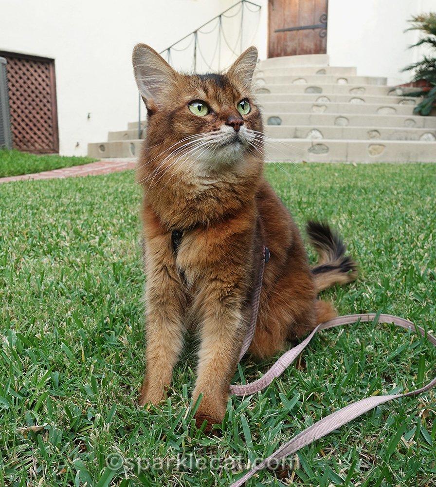 somali cat watching birdies