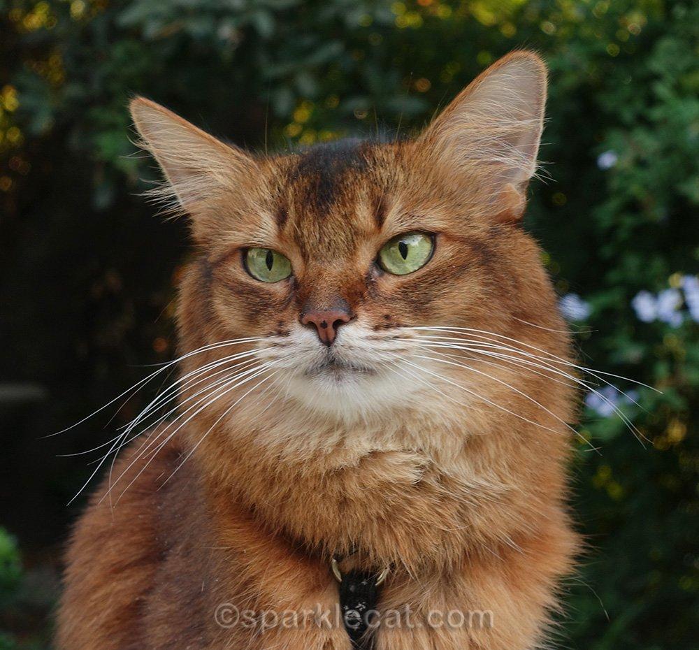 somali cat posing for glamor shot