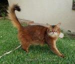 somali cat walking on leash