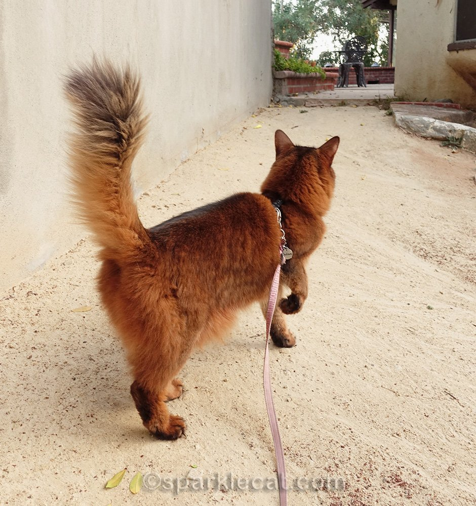 somali cat heading towards back patio