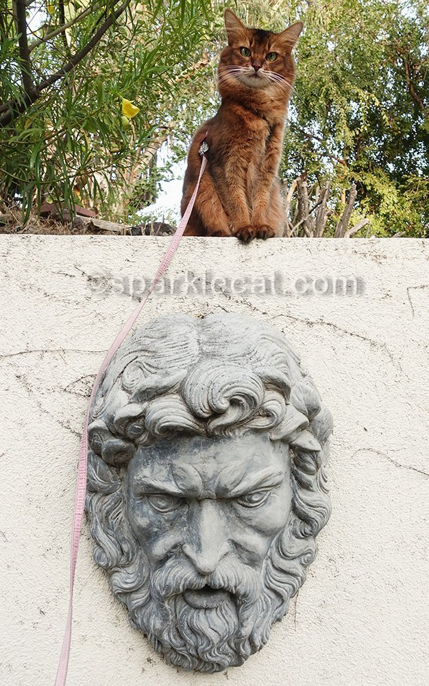 somali cat posing on wall over plaster head