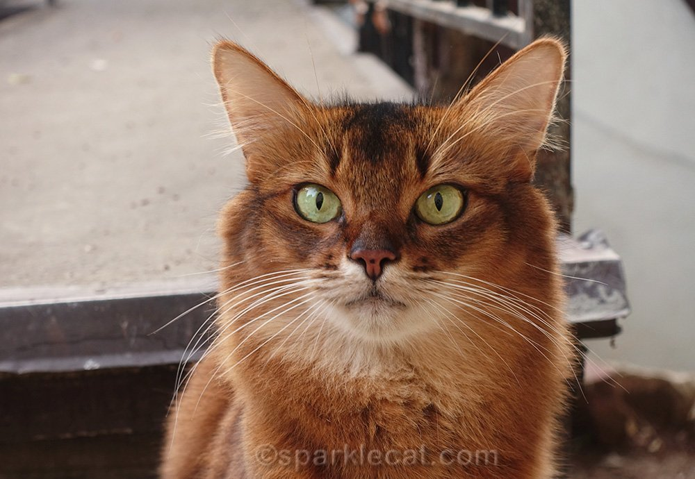 closeup of somali cat on fall backyard outing