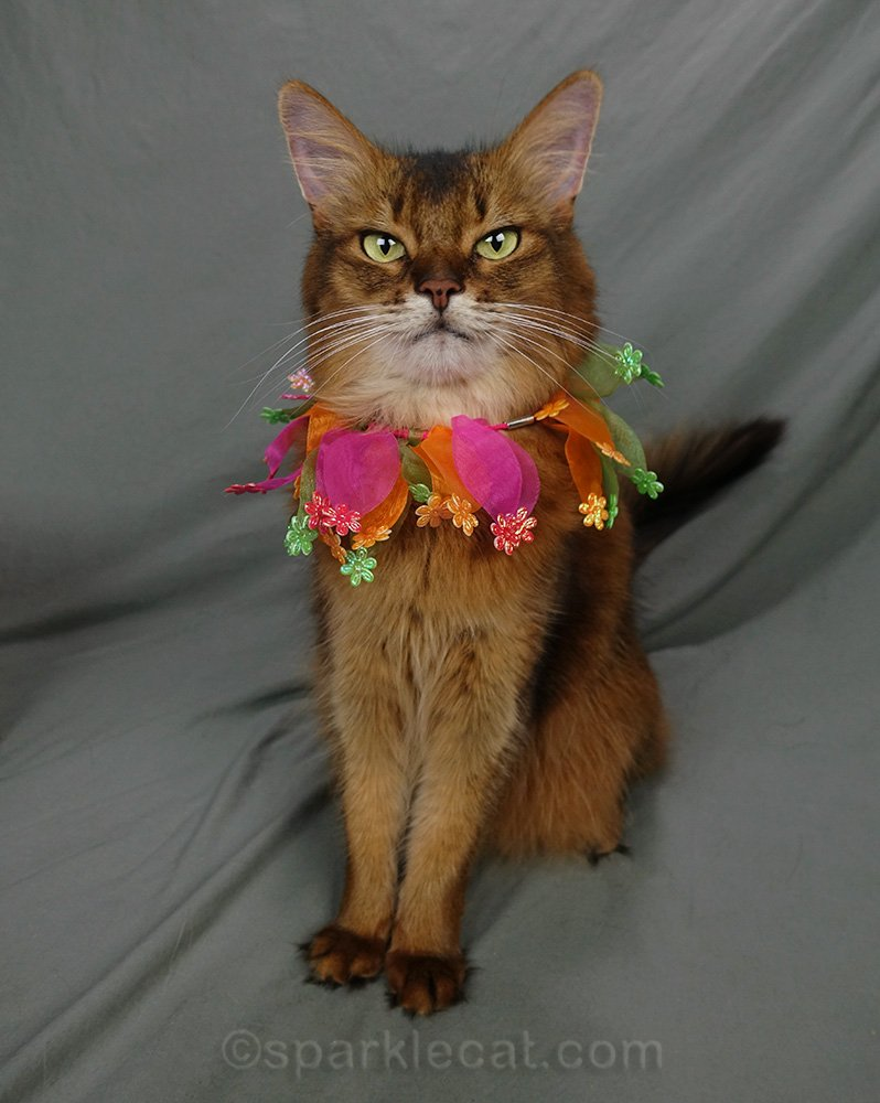 somali cat wearing other Scunci