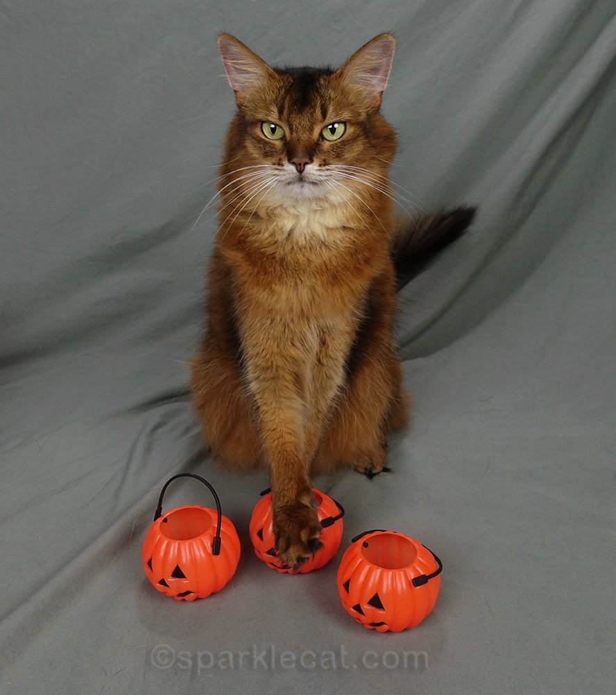 somali cat with trick or treat pumpkins