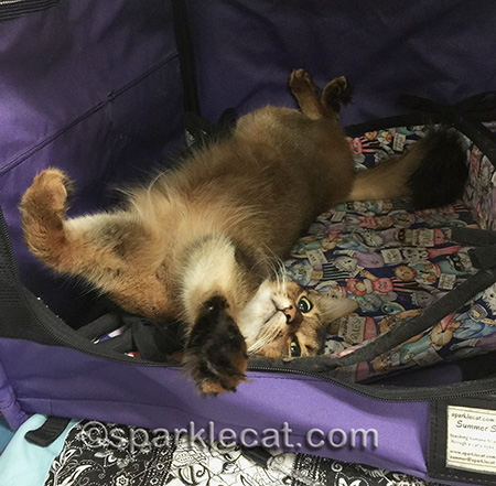 Ruddy Somali cat, cat relaxing, cat show, cat on her back