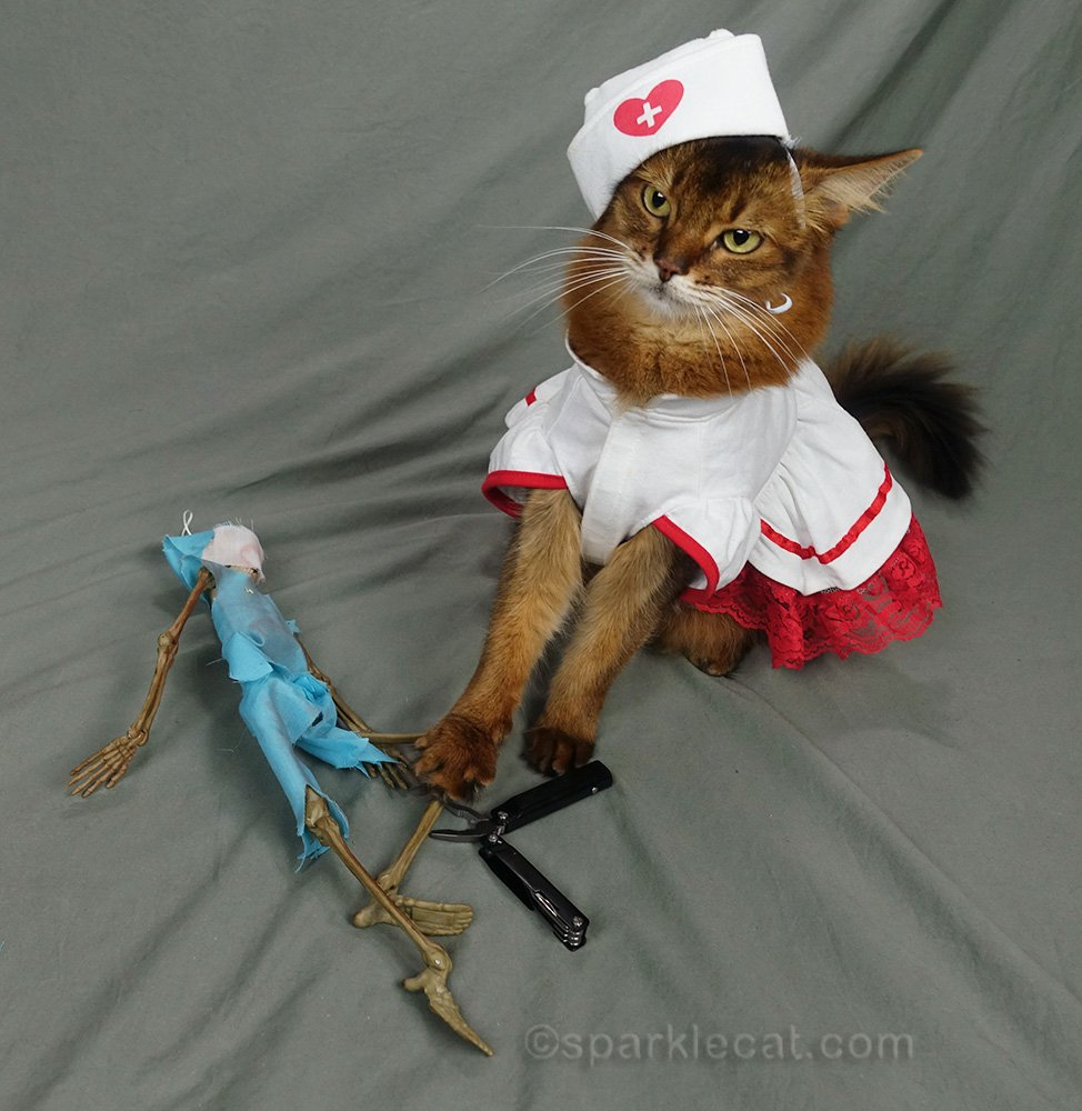 somali cat with pliers and Dr. Bones