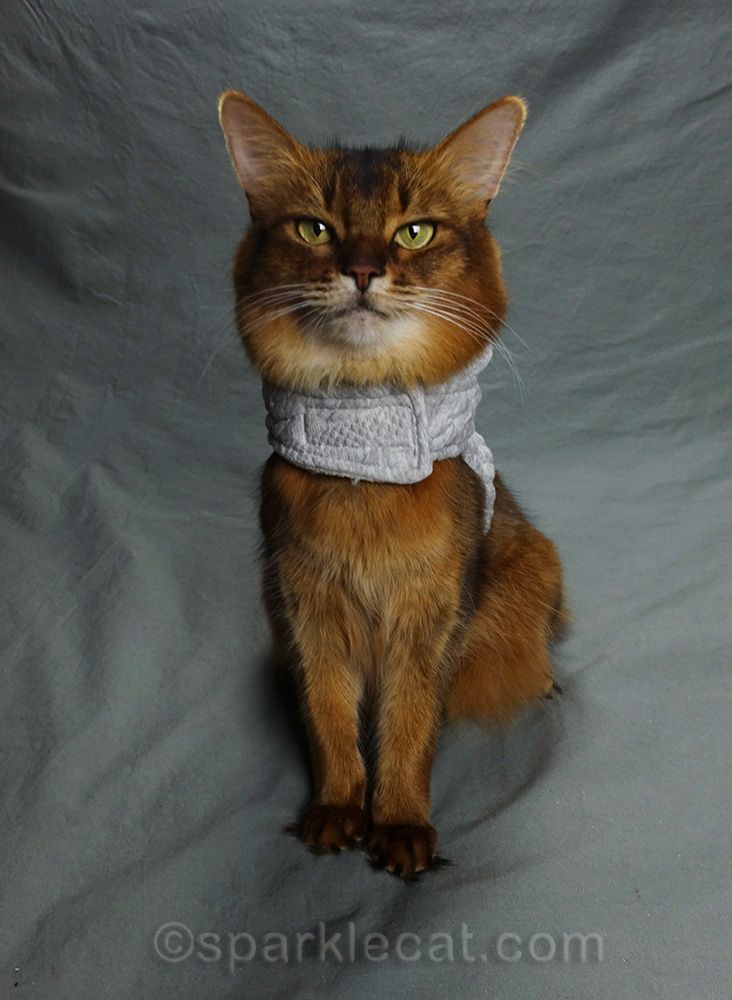 somali cat wearing quilted hoodie, without the hood