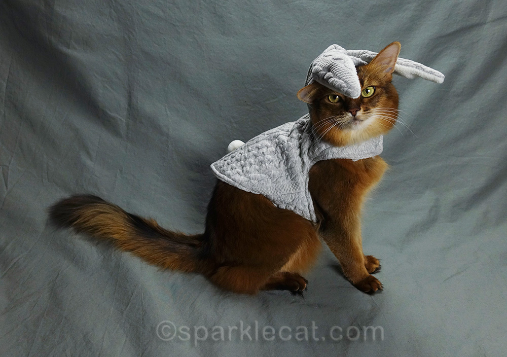 somali cat wearing bunny hoodie with the hood part all messed up.