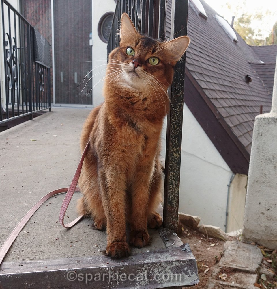 somali cat leaning on bridge railing