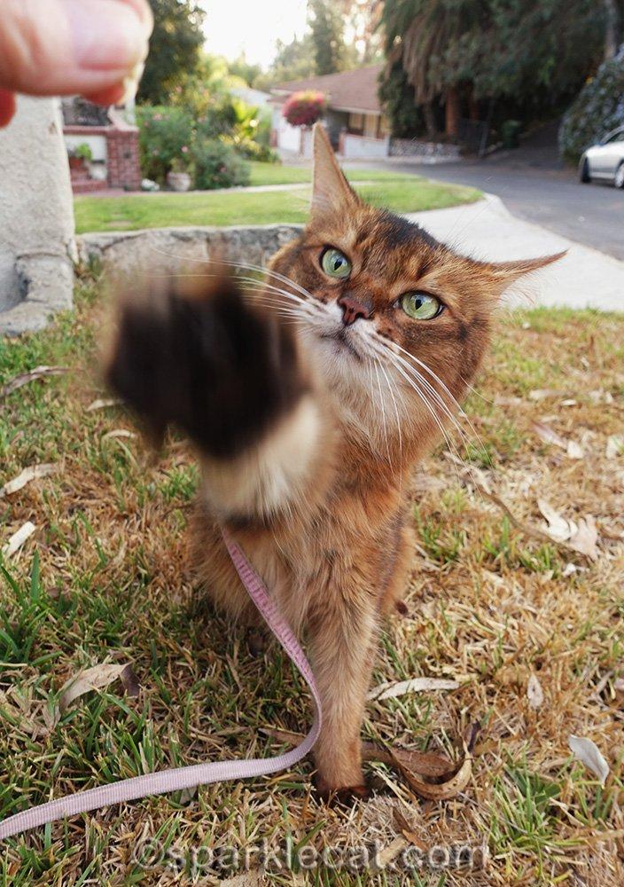 somali cat reaching for treat