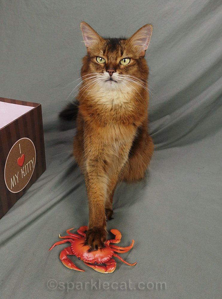 somali cat with paw on plastic crab