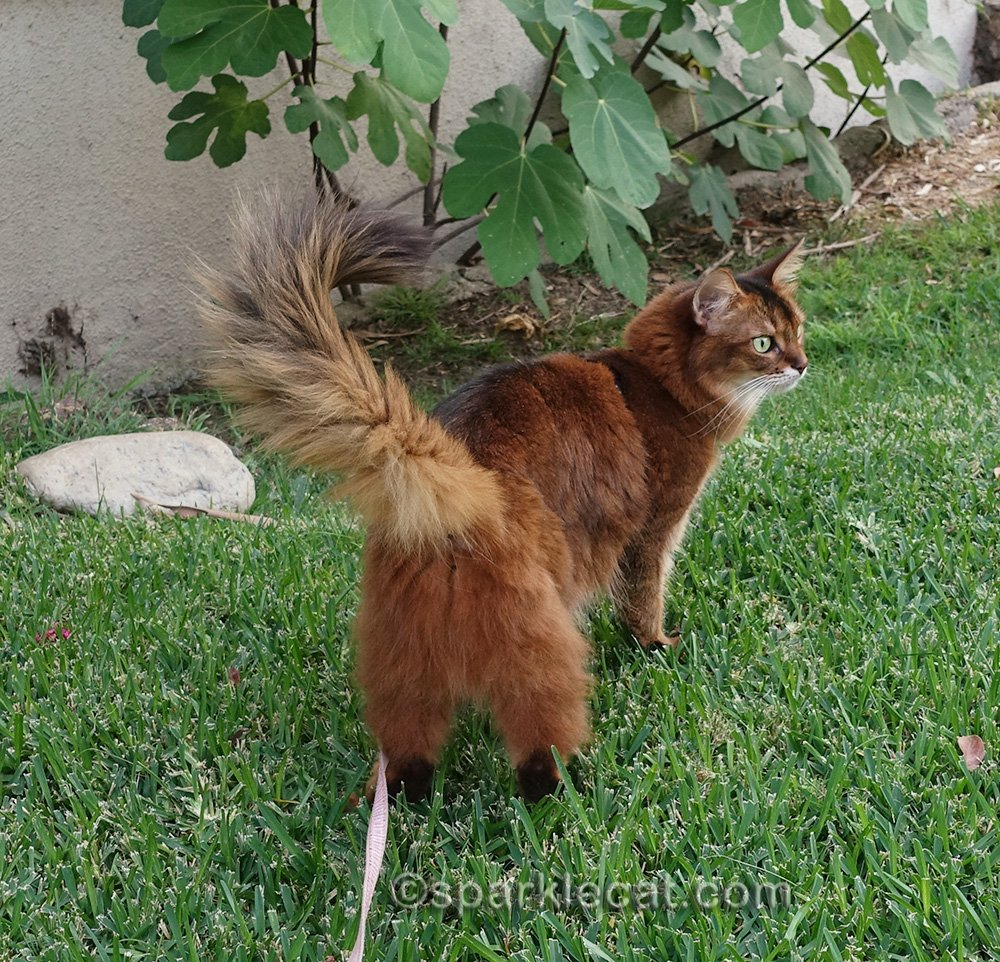 Somali cat on leash, photographed from behind