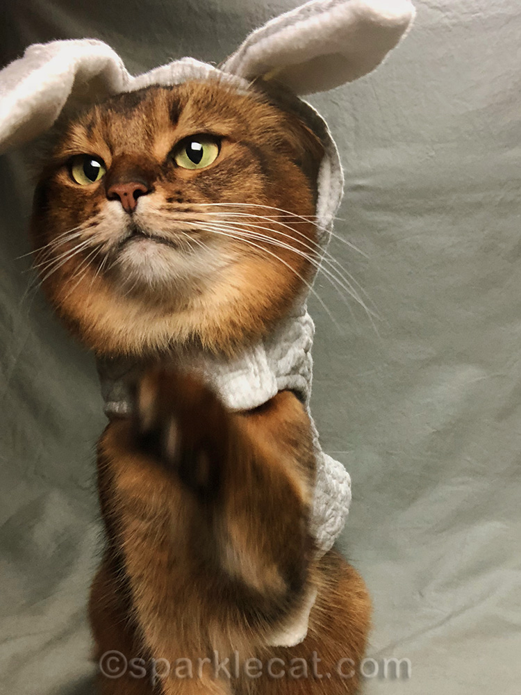 somali cat in bunny hoodie reaching for iPhone