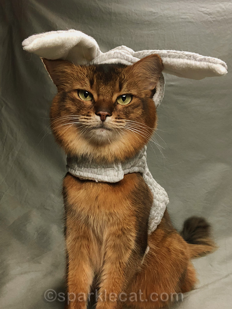 somali cat with bunny hoodie and ears sticking out