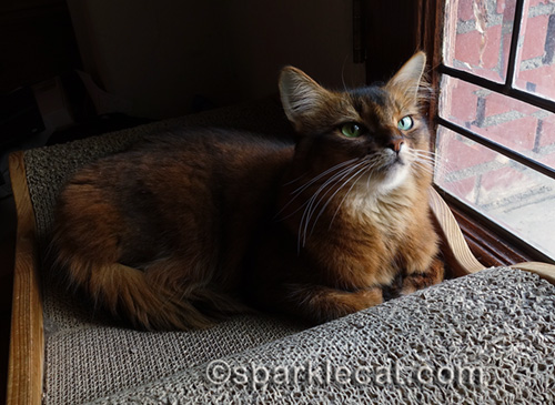 somali cat on scratcher by leaded glass door