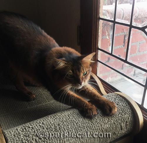 somali cat stretching and scratching on the lounger