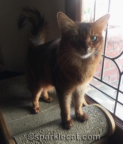somali cat ready to take selfie