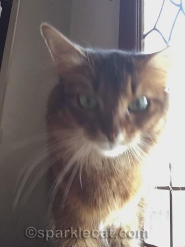 somali cat adjusting lighting on iPhone for selfie