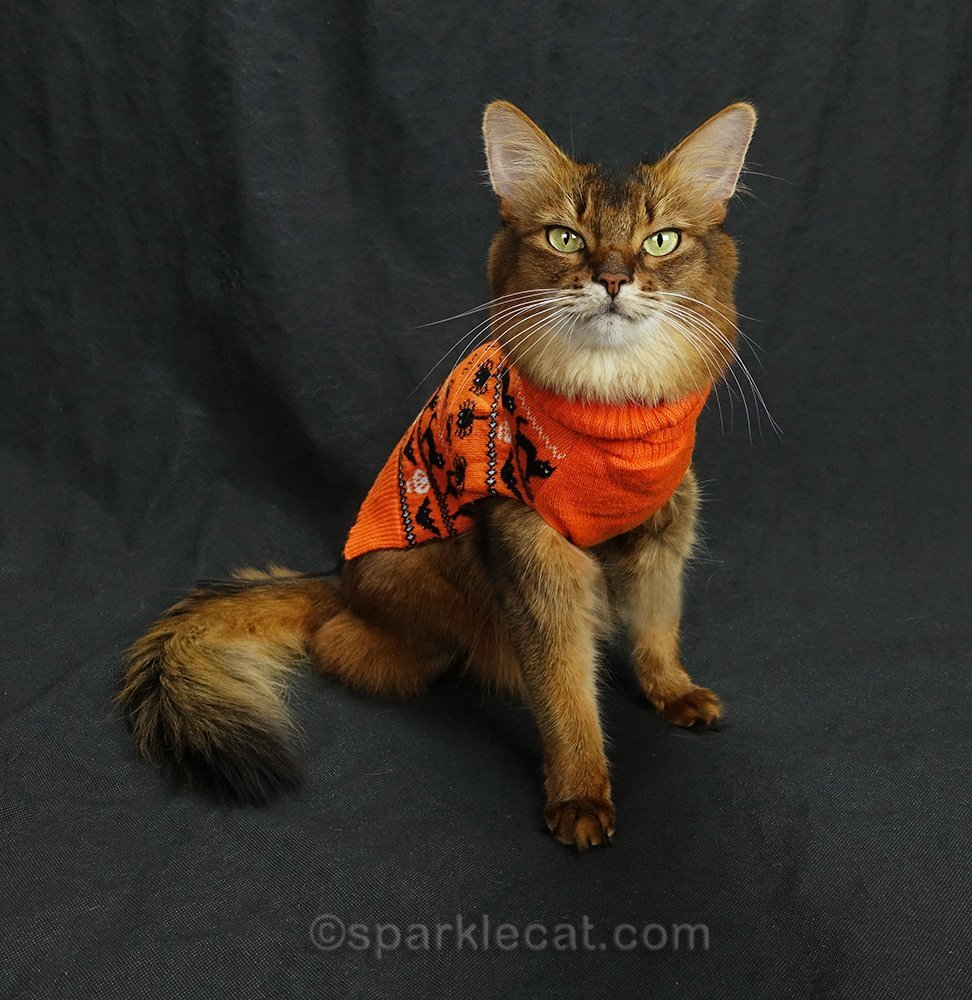somali cat wearing Halloween sweater