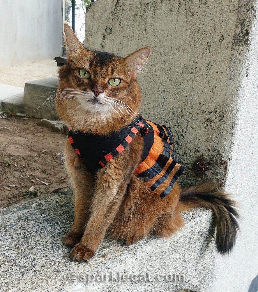 somali cat wearing a cute Halloween dress