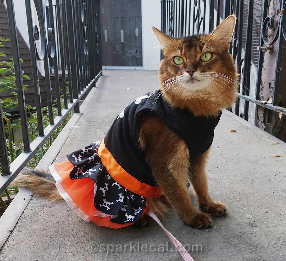 somali cat in Halloween dress on bridge