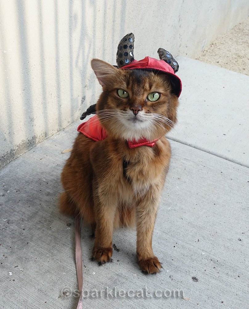 somali cat in old, ill-fitting devil outfit