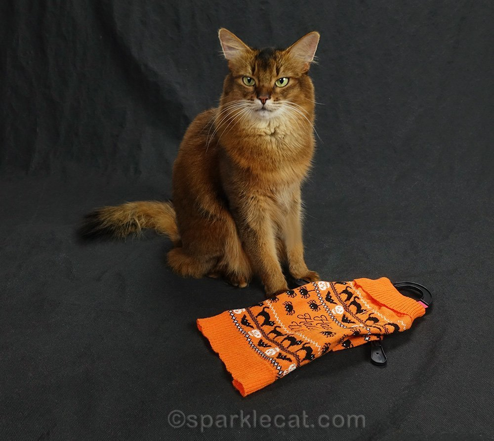 somali cat getting ready to pose with Halloween cat sweater