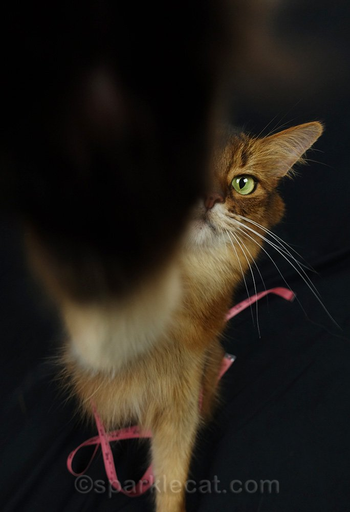 somali cat putting paw on camera lens