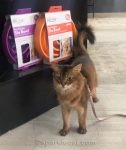 Somali cat happy to be in pet shop