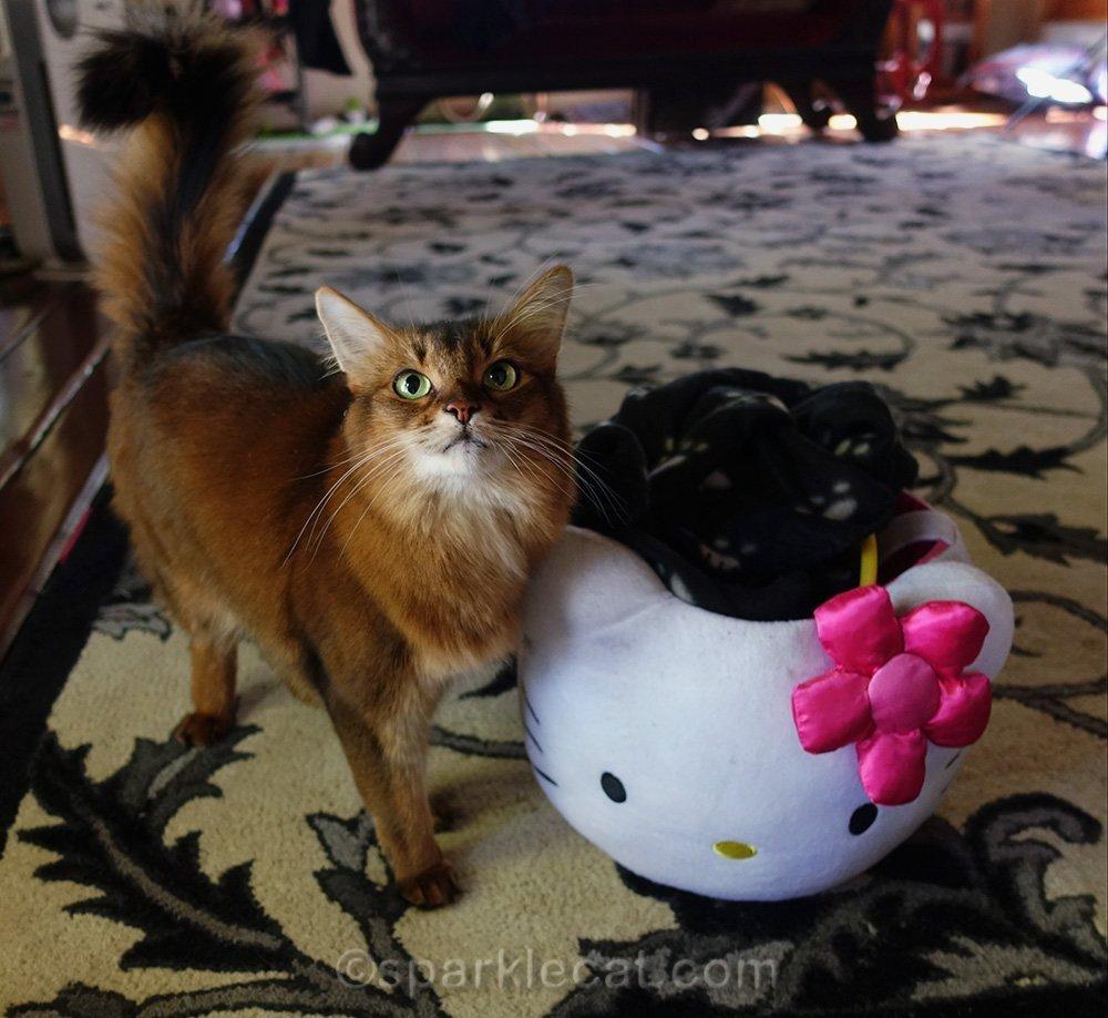 somali cat with Hello Kitty basket