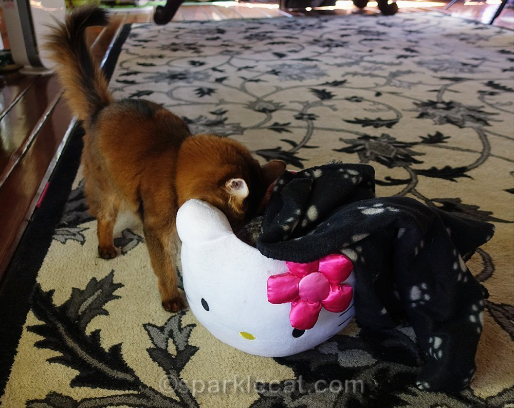 somali cat digging through mystery basket