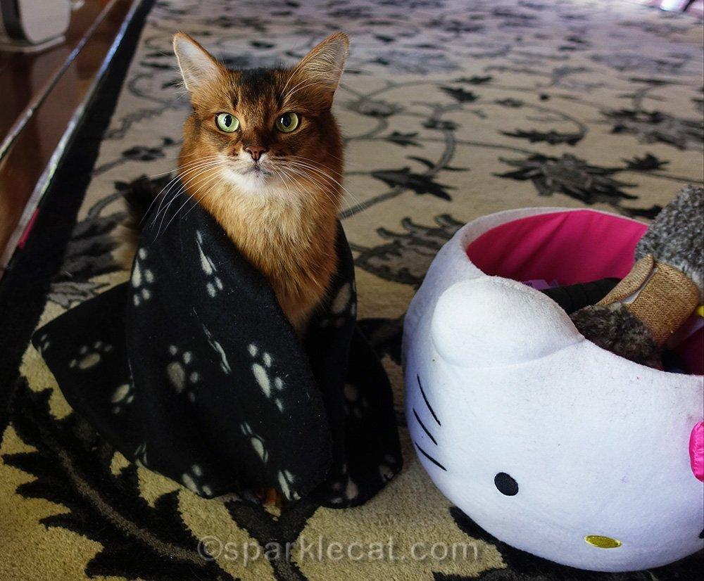 somali cat with little blanket