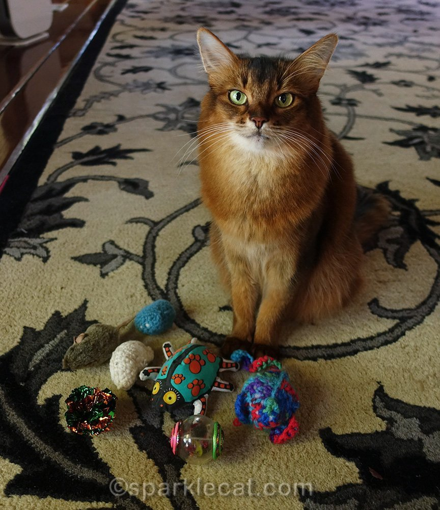 somali cat annoyed about all the cat toys hidden from her