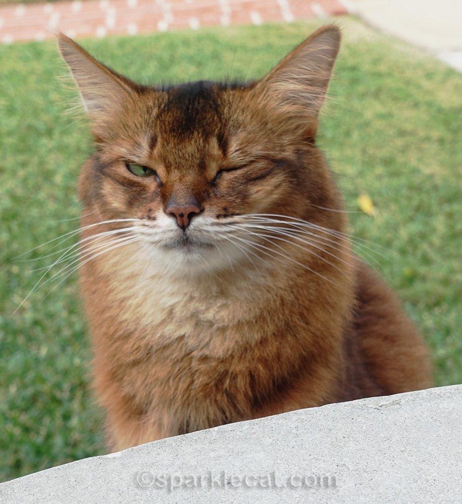 somali cat squinting