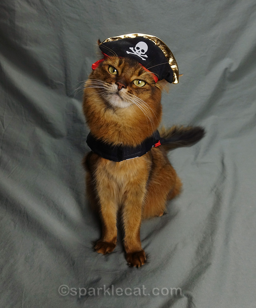 somali cat wearing pirate costume
