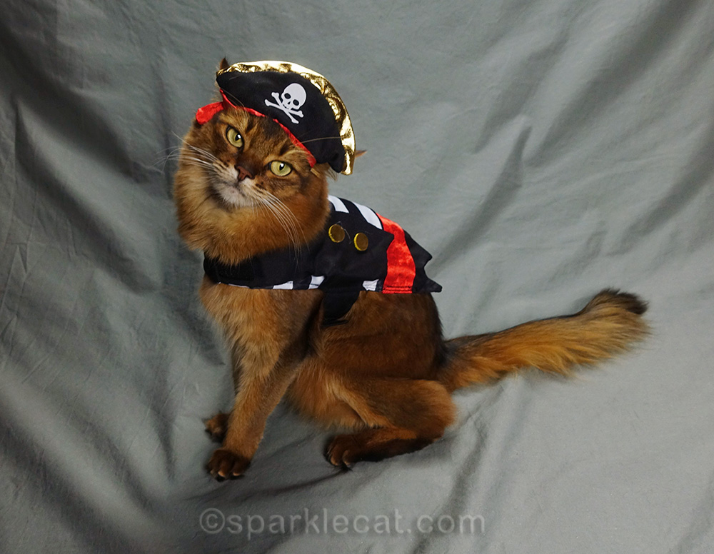 somali cat looking winsome in pirate outfit