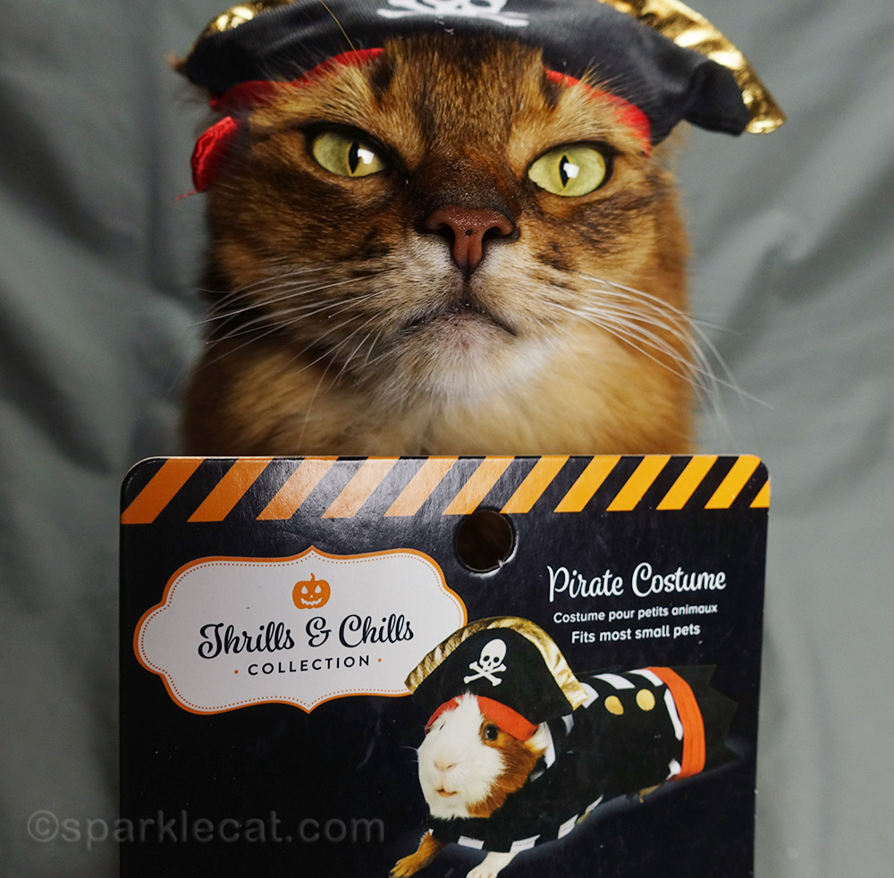 somali cat disappointed that costume is meant for guinea pigs