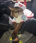therapy cat in nurse's outfit, ready to offer purr therapy