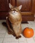 Summer does some modeling poses with a pumpkin her human carved especially for the session.